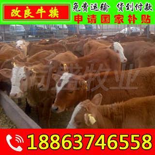 金川区肉牛犊多少钱一头 富通肉牛养殖场