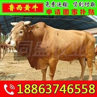 柞水县大型养牛场 山东富通肉牛养殖场-山东济宁畜牧局同盛牧业