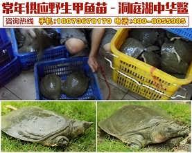 【河洲甲鱼】无锡野生中华鳖批发|野生甲鱼养殖