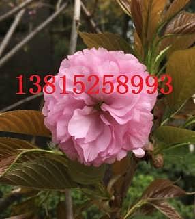 苏州别墅庭院绿化、别墅庭院设计、苏州别墅庭院景观绿化、别墅果树造型树,苏州景
