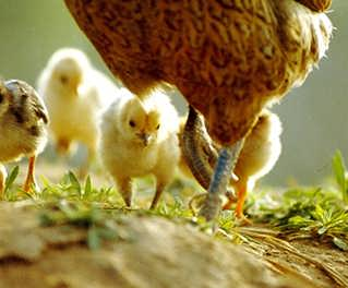 SAP智慧鸡场 鸡场物联网设备-代理商 MTC麦汇