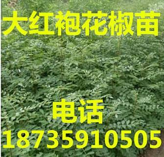 哪里的花椒苗纯度高、哪里的花椒苗品种好、花椒苗基地批发
