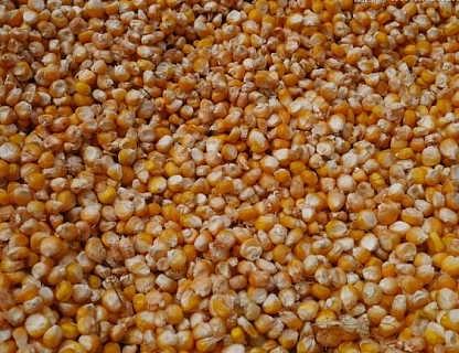 每月求购玉米5000吨
