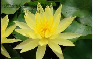 墨西哥黄睡莲