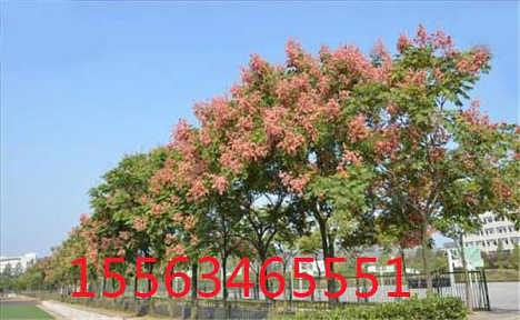 十五公分栾树价格