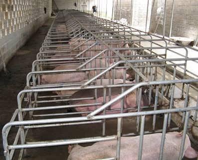厂家生产无缝焊接母猪保胎栏定位栏