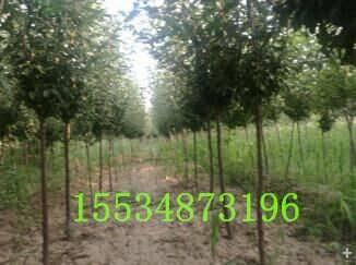 3公分李子树=出售3公分李子树=3公分李子树价格