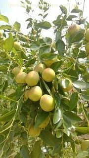 冬枣树苗产地直供