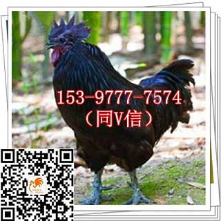 渝北黑鸡苗养殖成本孵化场