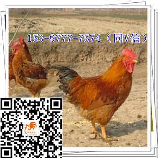 北碚鸡苗厂家鸡肉-四川好禽农业开发有限公司
