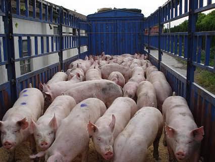 哪里有三元仔猪卖