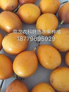 黄金百香果种苗