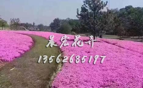 芝樱花海小苗-青州市晨宏花卉苗木专业合作社