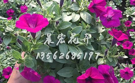 青州草花厂家批发-青州市晨宏花卉苗木专业合作社