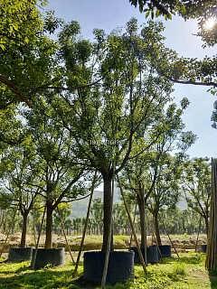 广西香樟庭院种植,广西香樟装车价