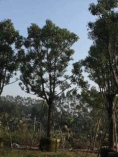 贵州骨架香樟批发,贵州香樟成活率高的