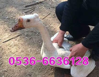 五龙鹅养殖
