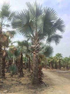 江苏霸王棕农户自销,江苏霸王棕棕榈树,江苏优质霸王棕