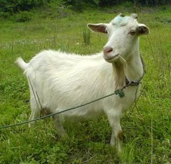 比较好的山羊育肥方法有哪些 试试优农康的微生态饲料添加剂吧