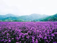 山东马鞭草小苗种植基地