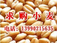 企业大量求购小麦