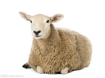 给肉羊用的肉羊预混料育肥羊预混料