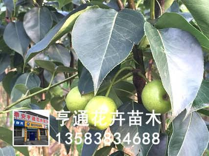 山东梨树苗种植基地