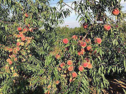 山东金秋红蜜桃树苗价格