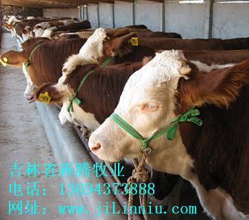 出售育肥牛犊