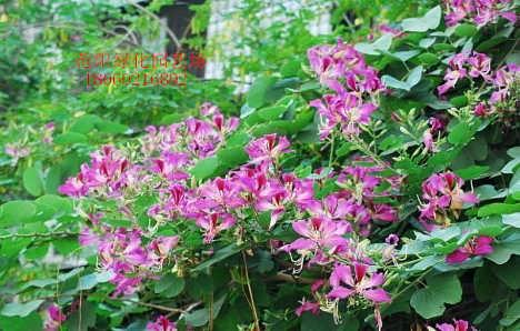 福建假植洋紫荆颜色景观,福建洋紫荆18公分-漳浦县马口绿博园艺场