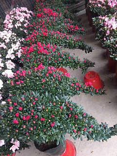 江苏移植杜鹃花朵艳丽,无锡杜鹃价格可商议-漳浦县马口绿博园艺场