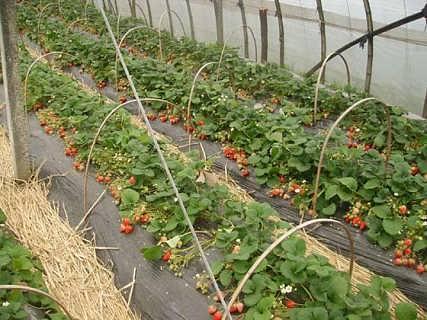 山东草莓苗种植基地-泰安开发区润丰苗木中心