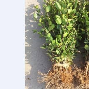 2018年优质山茶子树苗批发,良种油茶亩种植补贴,油茶产量
