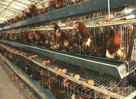 蛋鸡笼,肉鸡笼,蛋鸡笼批发