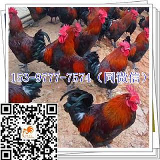 隆昌九斤黄鸡苗孵化场品种-四川好禽农业开发有限公司