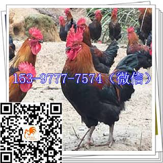 渠县土鸡苗公司养殖-四川好禽农业开发有限公司
