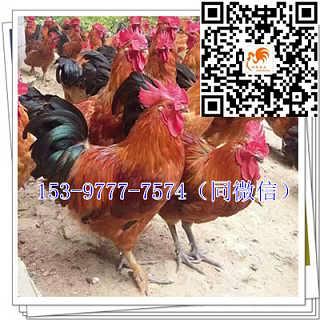 康县快大鸡苗销售价格麻鸡-四川好禽农业开发有限公司