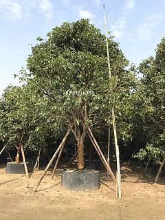 湖北金桂树园林绿化,湖北金桂树今年价格