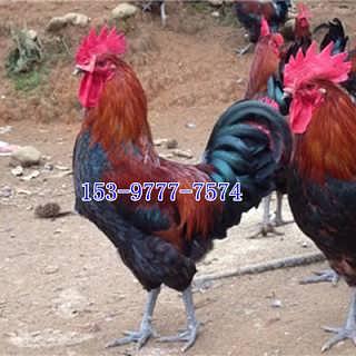 安宁土鸡苗多少钱一只脱温-四川好禽农业开发有限公司