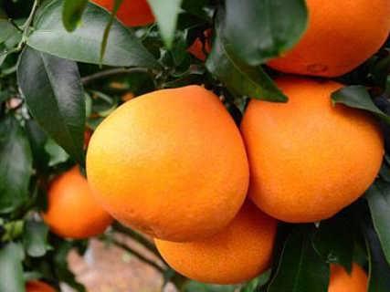 正宗红美人柑橘苗价格 红美人柑桔树苗 爱嫒28柑橘苗批发价格-绍兴市上虞卢永根家庭农场