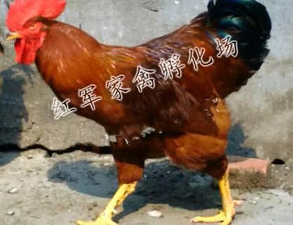 泰安380红公鸡怎么卖