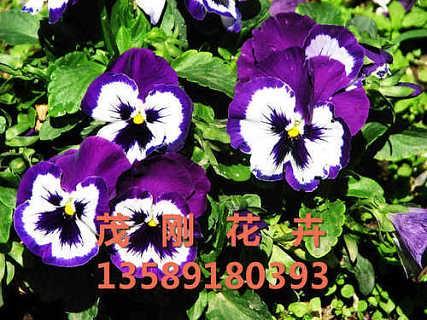 三色堇批发价格-青州市茂刚花卉苗木专业合作社