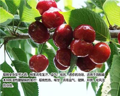 山东樱桃苗种植