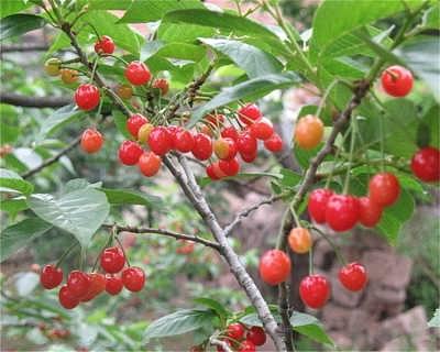 山东樱桃苗种植哪家好