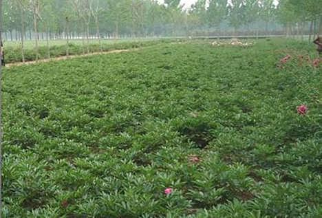 菏泽芍药苗种植管理