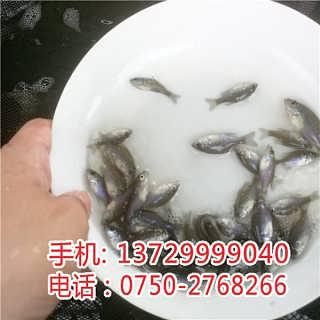 惠州加州鲈鱼苗批发价格【明辉水产】