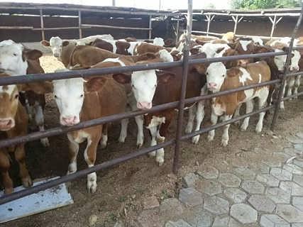 忻州肉牛养殖场品种多,价格优
