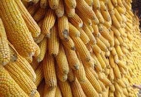 四川酒厂ms196明仕亚洲官网手机版高梁小麦玉米1500吨
