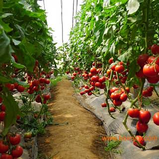 中农2号-耐高温番茄种子