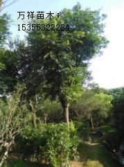 榉树 榉树 朴树种植基地 浙江12-22公分全冠榉树供应商